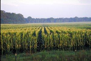 corn-picture